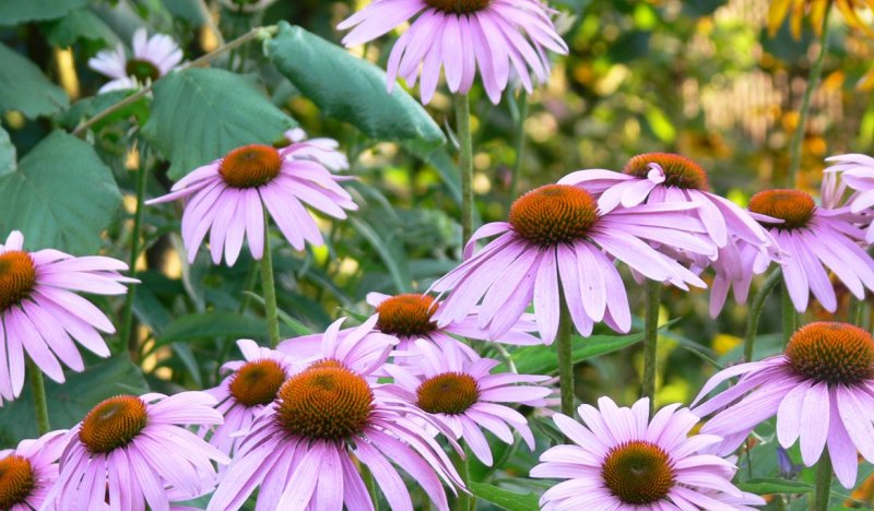 echinacea-herpes-zoster